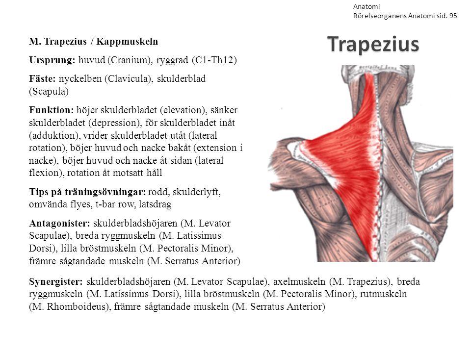 Trapezius M. Trapezius / Kappmuskeln