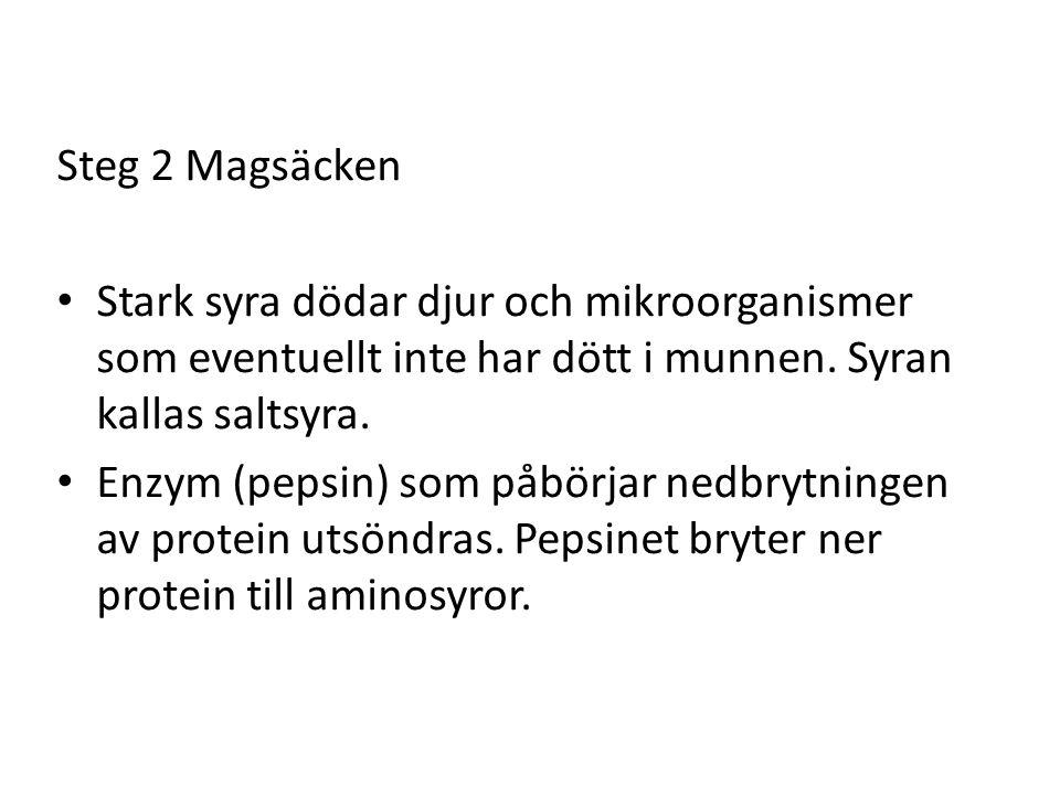 Steg 2 Magsäcken Stark syra dödar djur och mikroorganismer som eventuellt inte har dött i munnen. Syran kallas saltsyra.