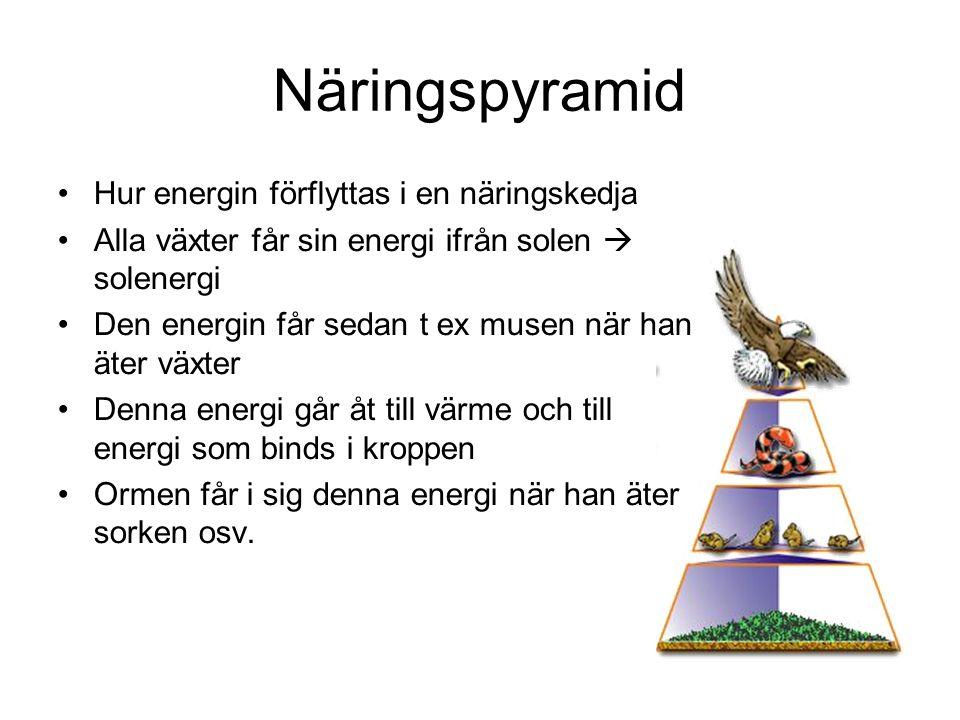 Näringspyramid Hur energin förflyttas i en näringskedja