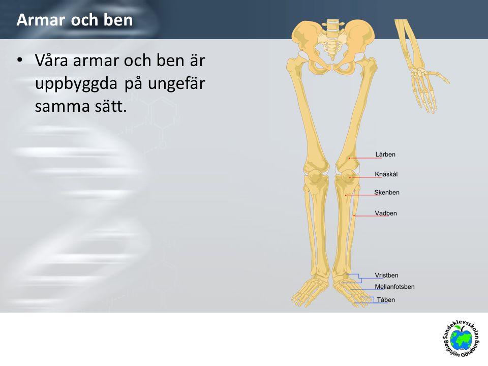 Våra armar och ben är uppbyggda på ungefär samma sätt.