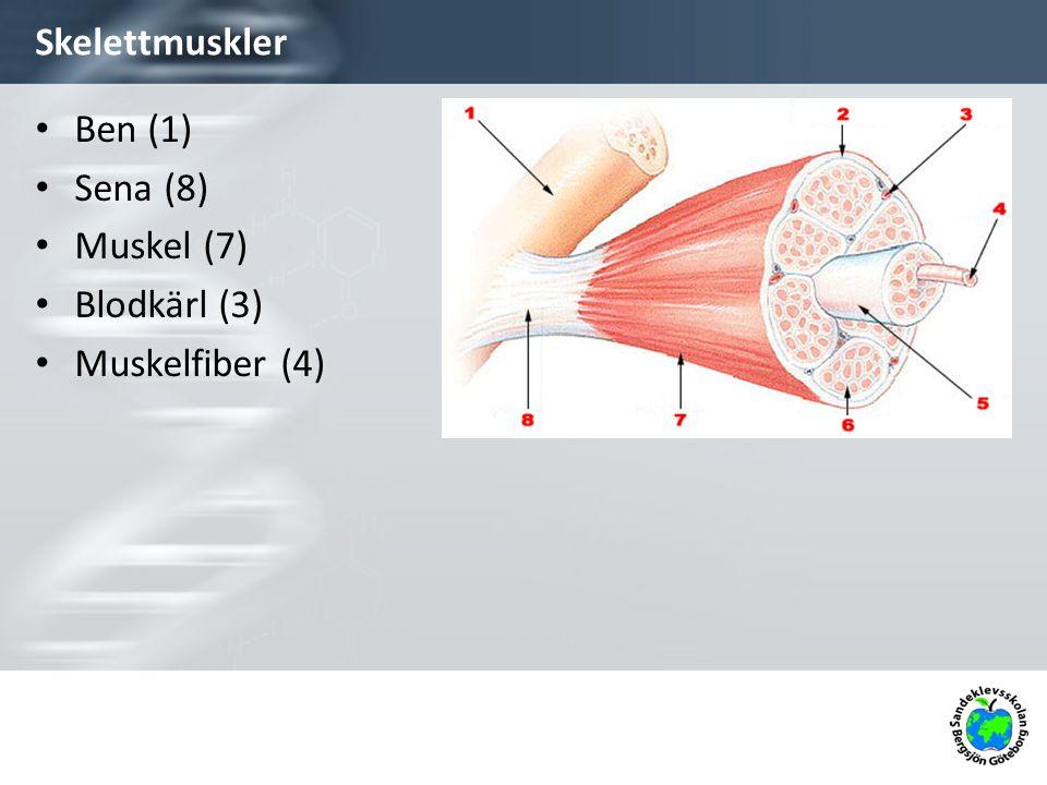 Skelettmuskler Ben (1) Sena (8) Muskel (7) Blodkärl (3)