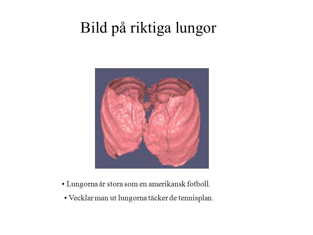 Bild på riktiga lungor Lungorna är stora som en amerikansk fotboll.