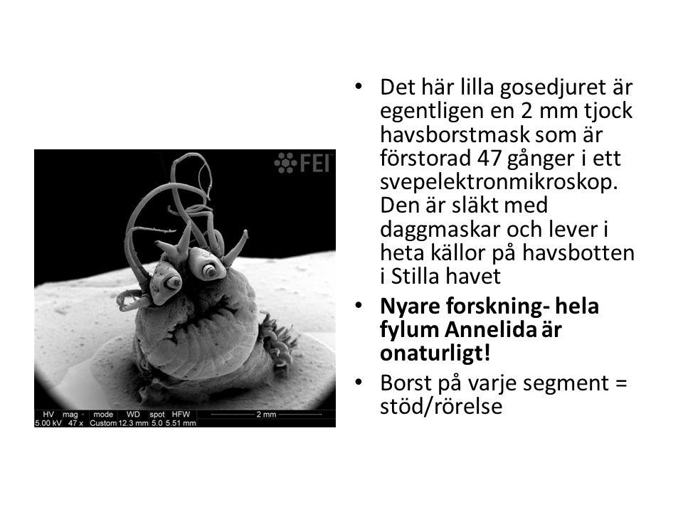 Det här lilla gosedjuret är egentligen en 2 mm tjock havsborstmask som är förstorad 47 gånger i ett svepelektronmikroskop. Den är släkt med daggmaskar och lever i heta källor på havsbotten i Stilla havet