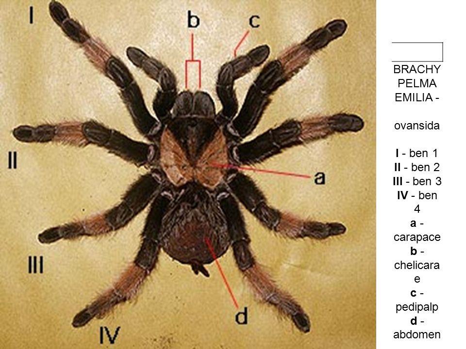 BRACHYPELMA EMILIA - ovansida I - ben 1 II - ben 2 III - ben 3 IV - ben 4 a - carapace b - chelicarae c - pedipalp d - abdomen