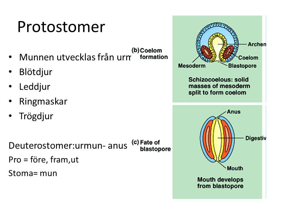 Protostomer Munnen utvecklas från urmunnen Blötdjur Leddjur Ringmaskar