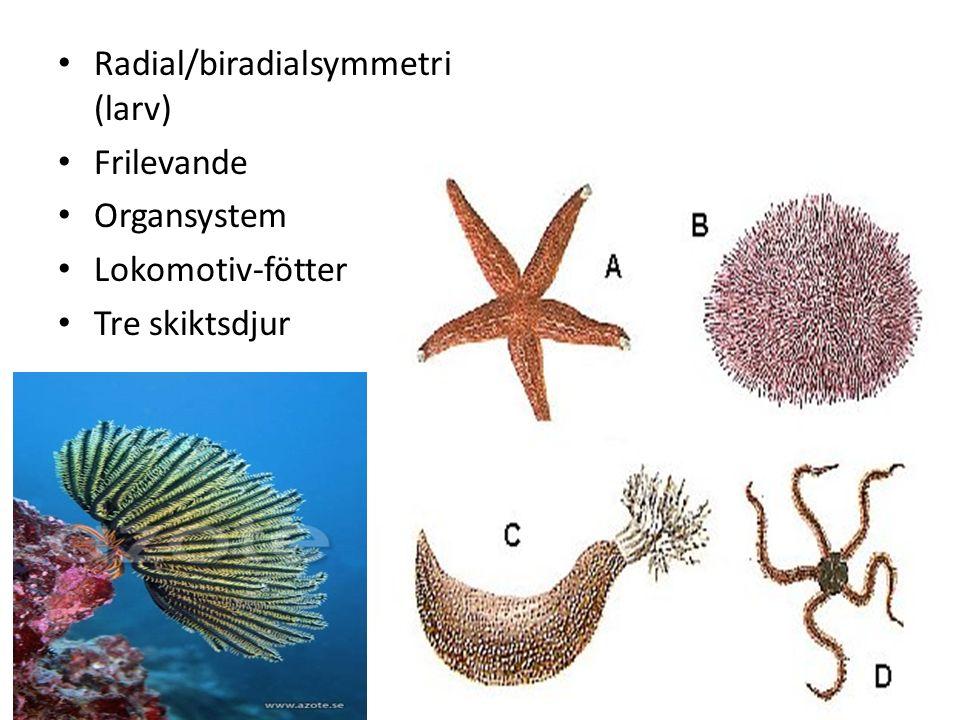 Radial/biradialsymmetri (larv)