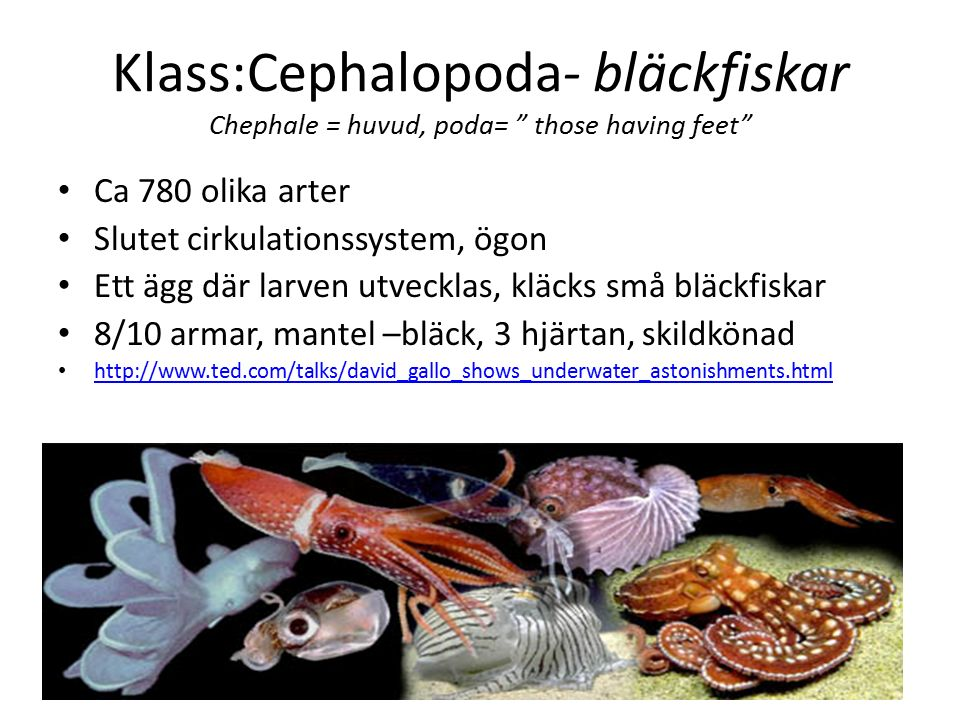Klass:Cephalopoda- bläckfiskar Chephale = huvud, poda= those having feet