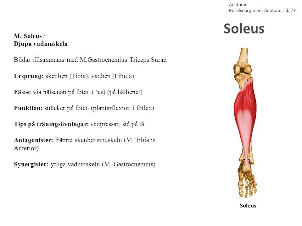 Soleus M. Soleus / Djupa vadmuskeln
