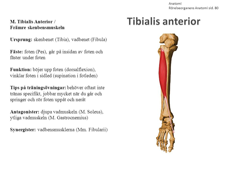 Tibialis anterior M. Tibialis Anterior / Främre skenbensmuskeln