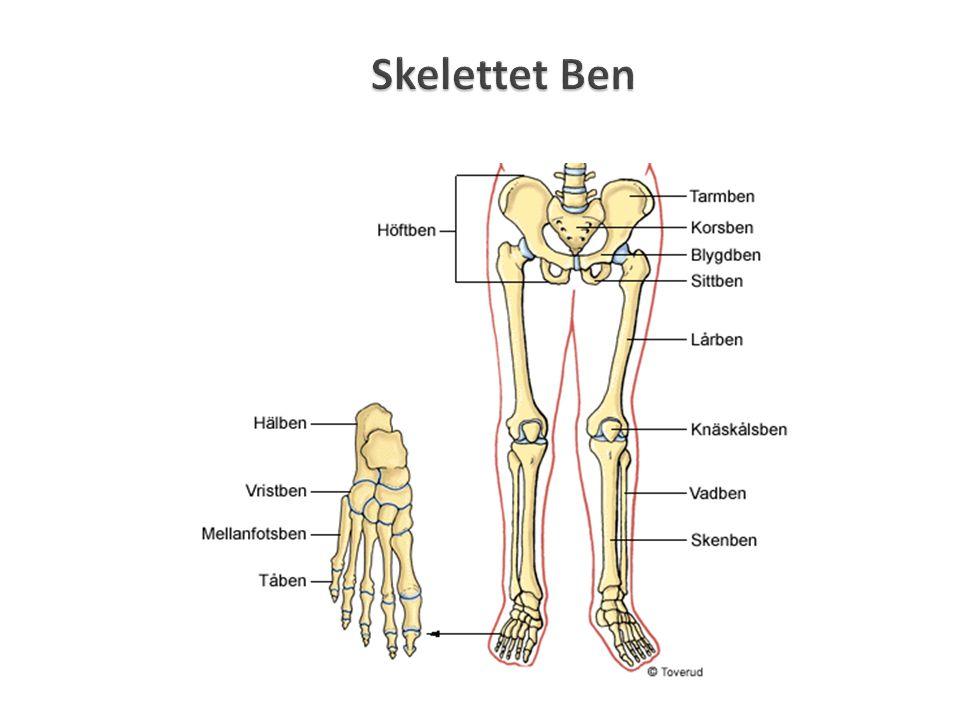 Skelettet Ben