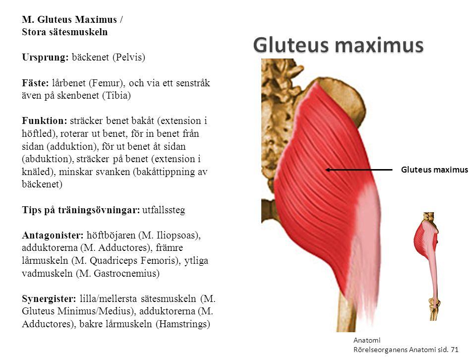 Gluteus maximus M. Gluteus Maximus / Stora sätesmuskeln
