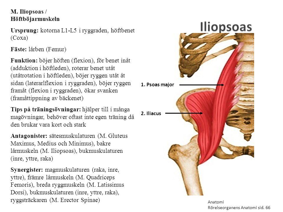 Iliopsoas M. Iliopsoas / Höftböjarmuskeln