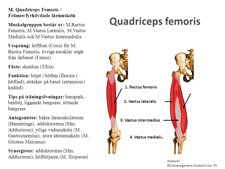 M. Quadriceps Femoris / Främre/fyrhövdade lårmuskeln