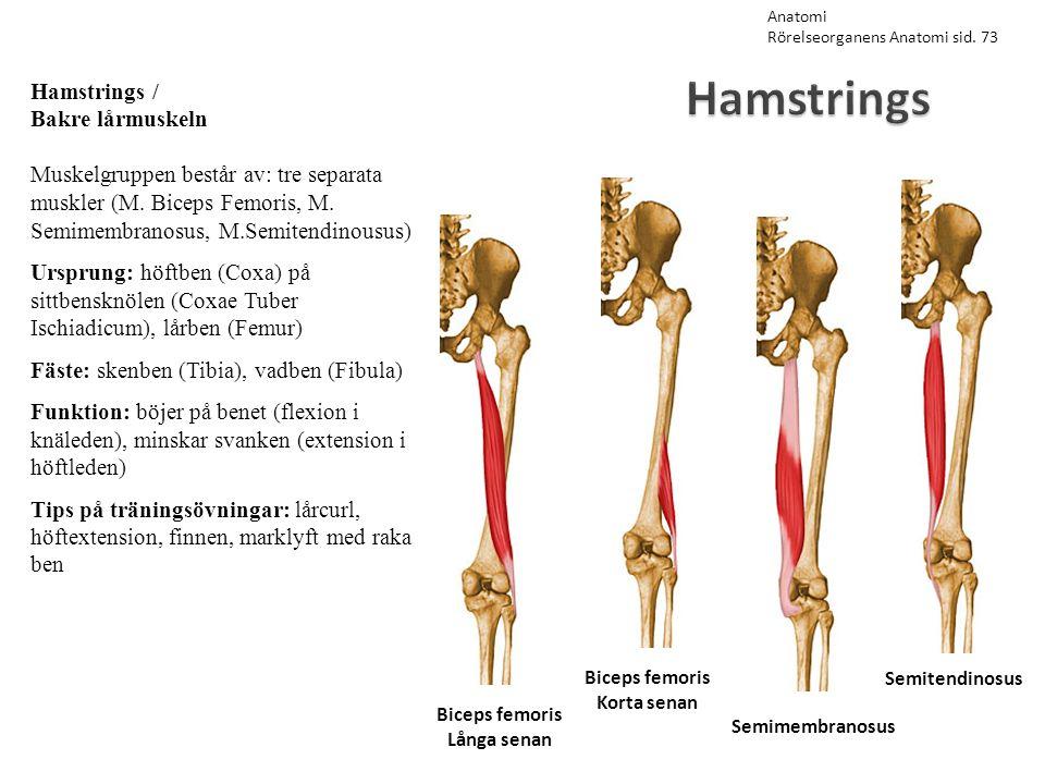 Hamstrings Hamstrings / Bakre lårmuskeln