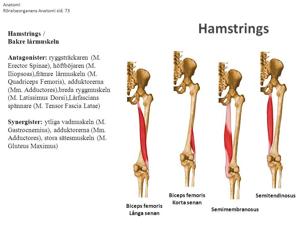 Anatomi Rörelseorganens Anatomi sid. 73. Hamstrings.