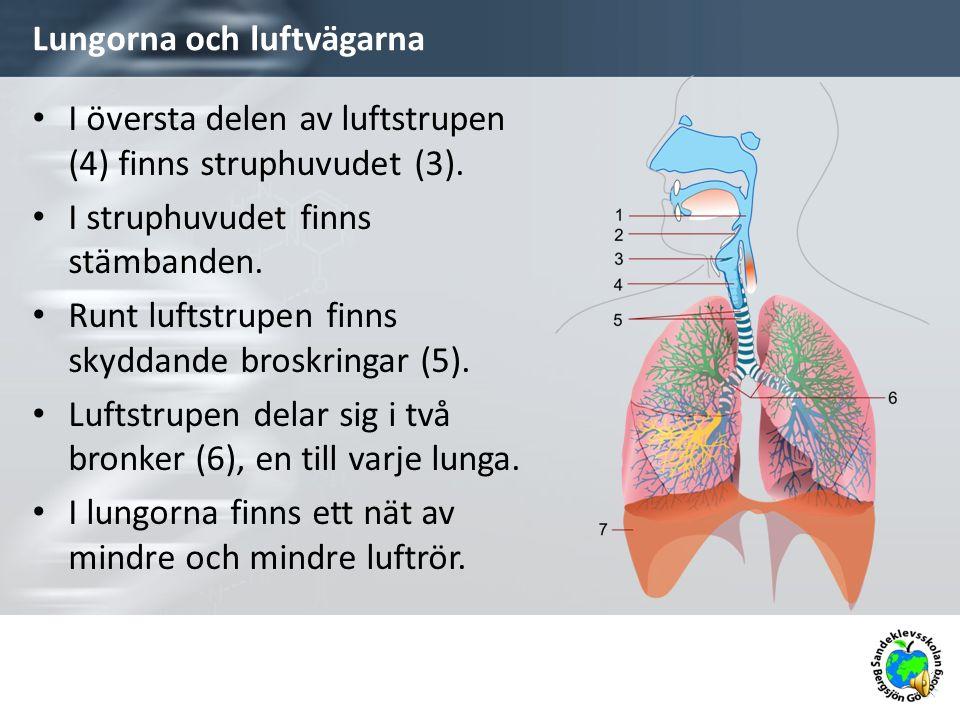 Lungorna och luftvägarna