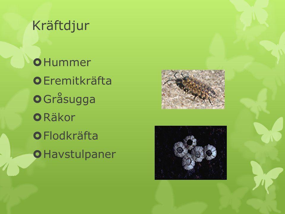 Kräftdjur Hummer Eremitkräfta Gråsugga Räkor Flodkräfta Havstulpaner