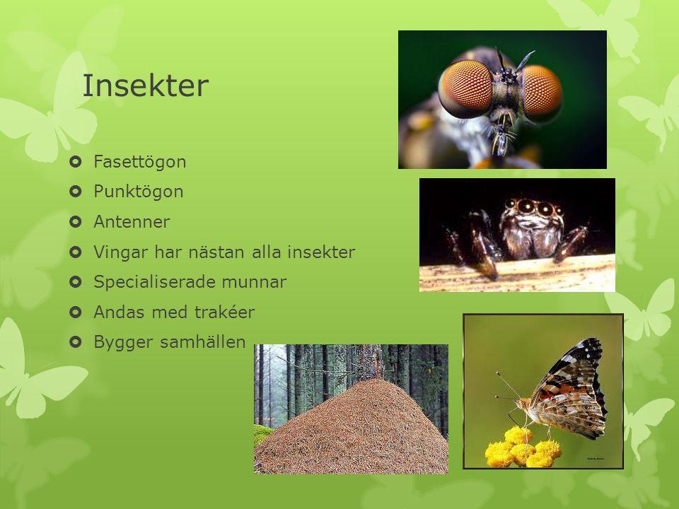 Insekter Fasettögon Punktögon Antenner Vingar har nästan alla insekter