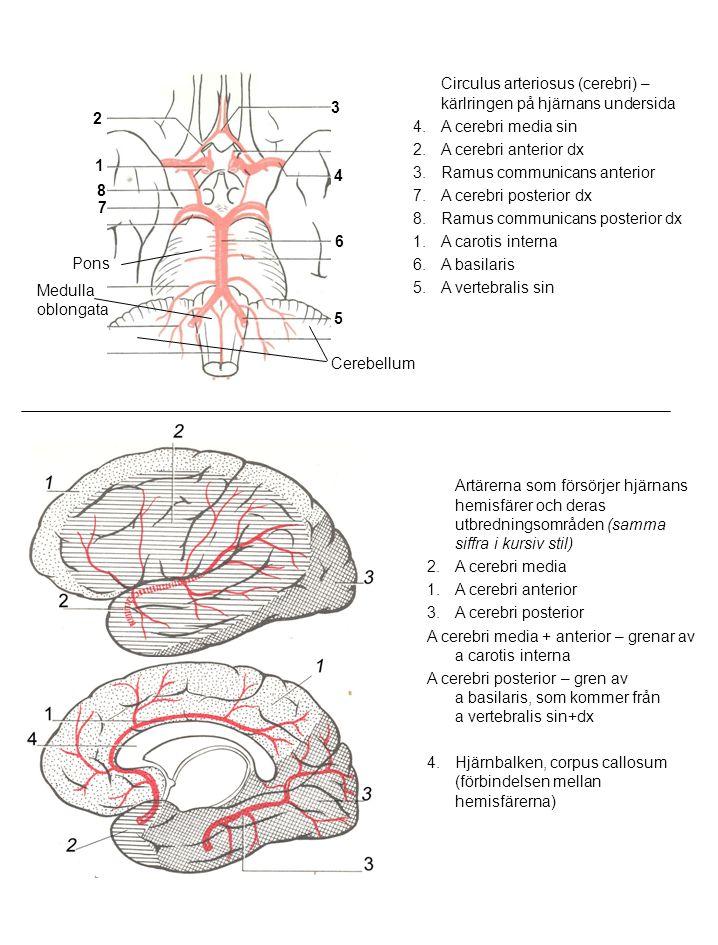 Circulus arteriosus (cerebri) – kärlringen på hjärnans undersida