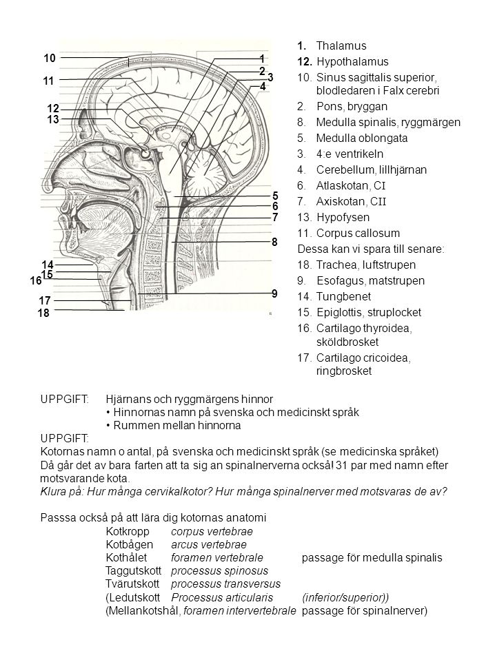 10. Sinus sagittalis superior, blodledaren i Falx cerebri