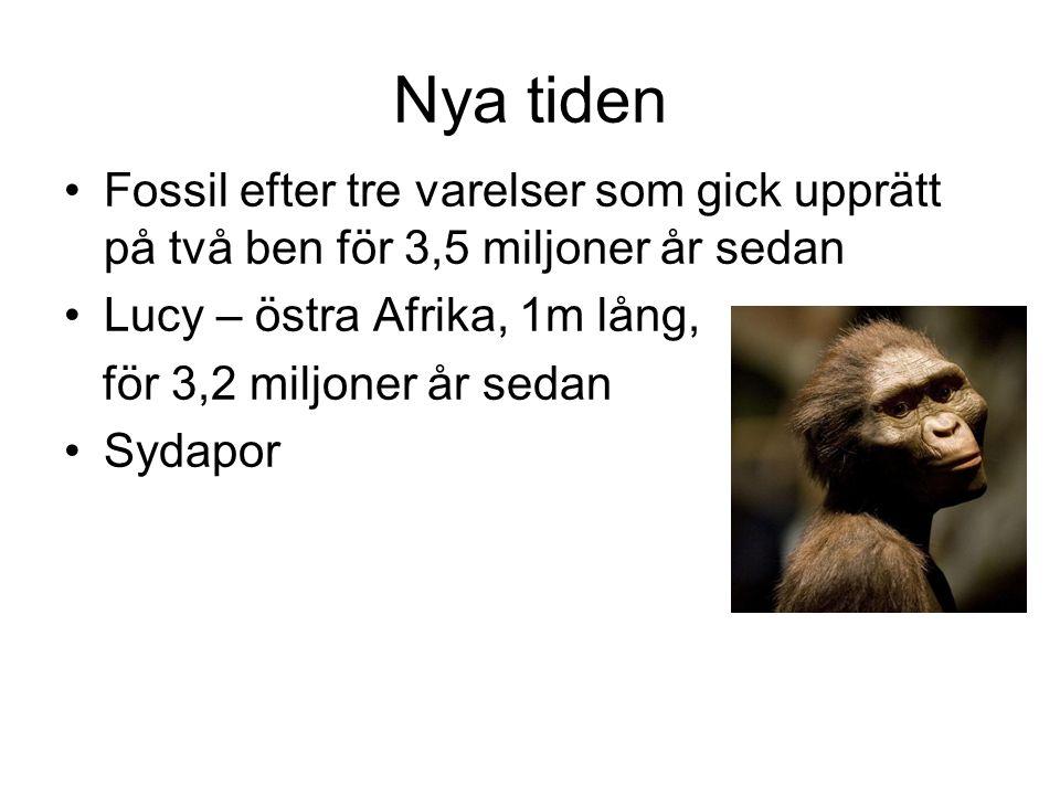 Nya tiden Fossil efter tre varelser som gick upprätt på två ben för 3,5 miljoner år sedan. Lucy – östra Afrika, 1m lång,