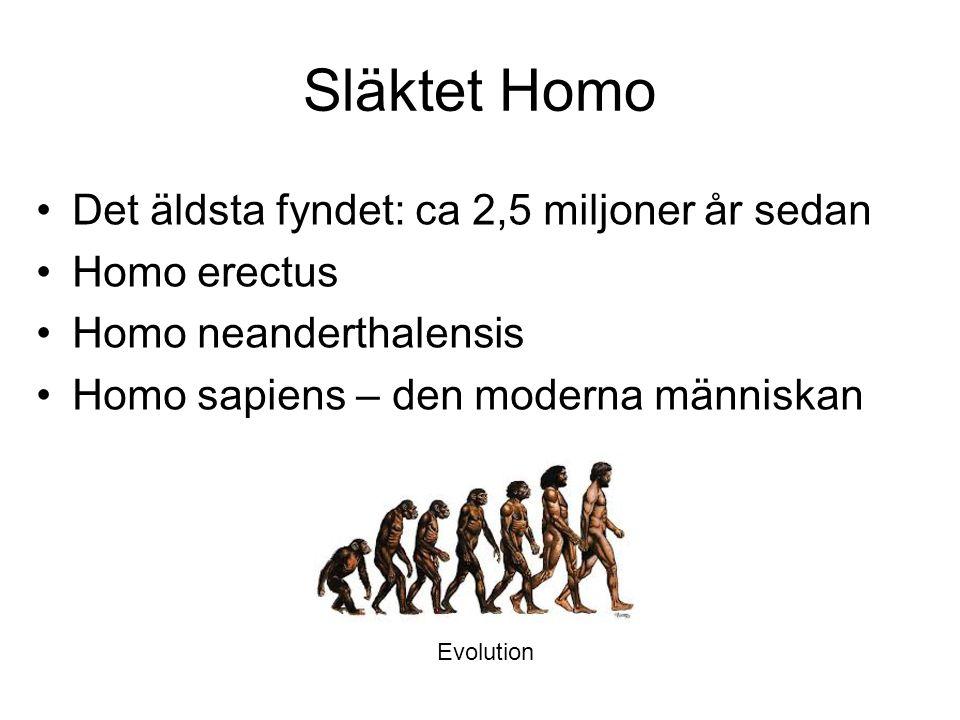 Släktet Homo Det äldsta fyndet: ca 2,5 miljoner år sedan Homo erectus