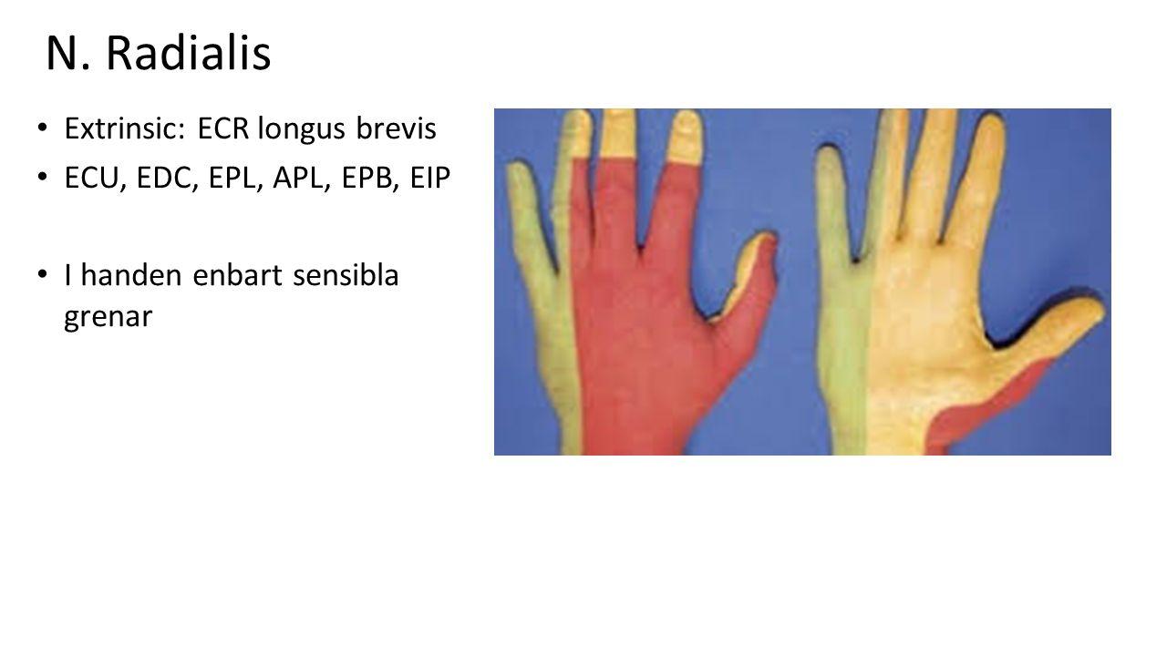 N. Radialis Extrinsic: ECR longus brevis ECU, EDC, EPL, APL, EPB, EIP