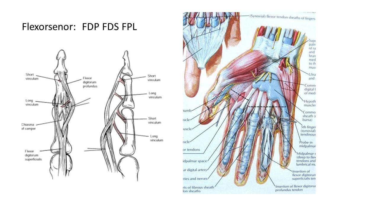 Flexorsenor: FDP FDS FPL