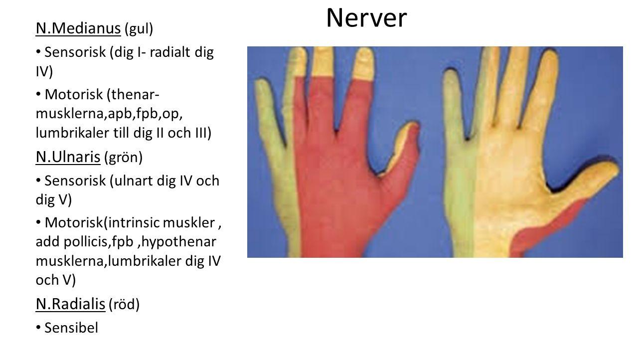 Nerver N.Medianus (gul) N.Ulnaris (grön) N.Radialis (röd)