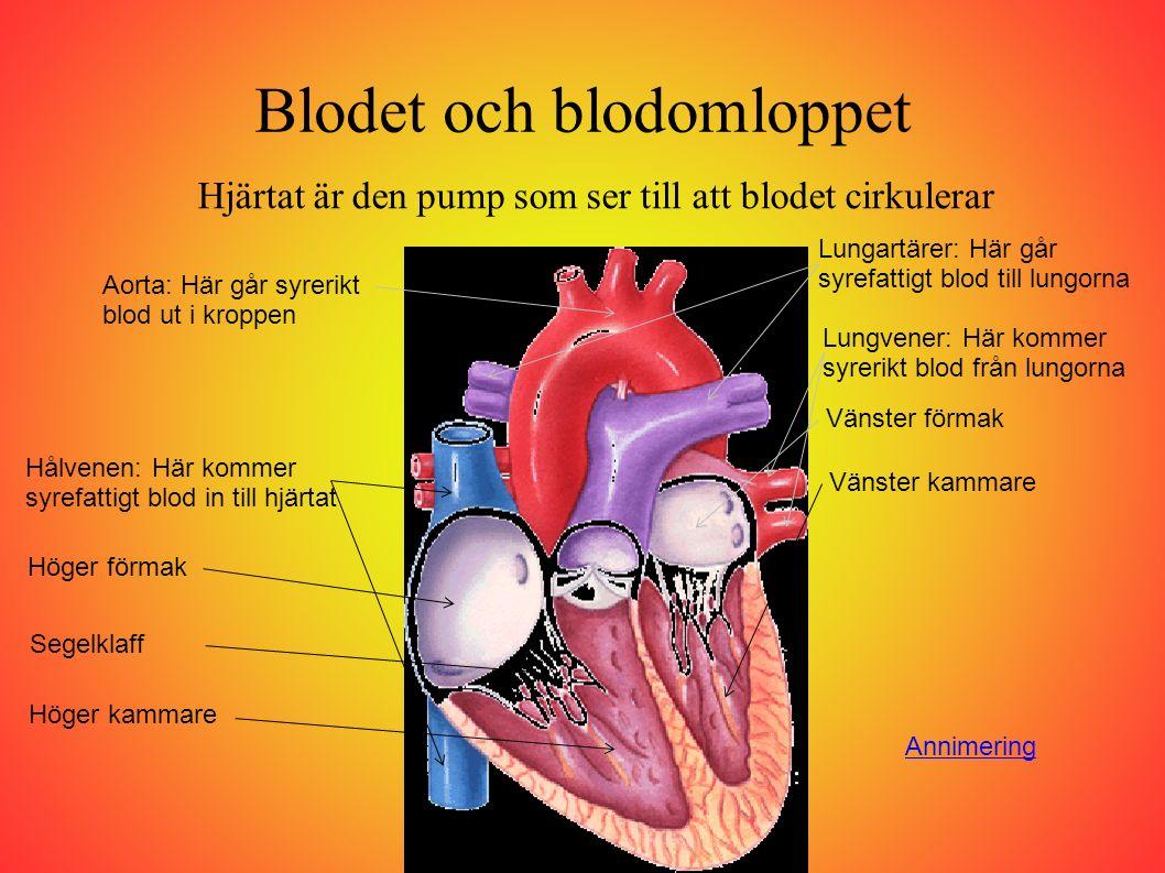 Blodet och blodomloppet