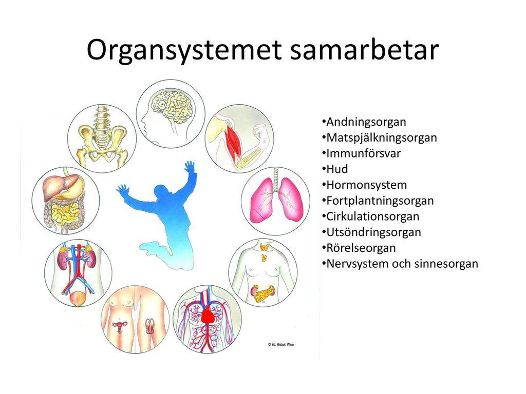 Organsystemet samarbetar
