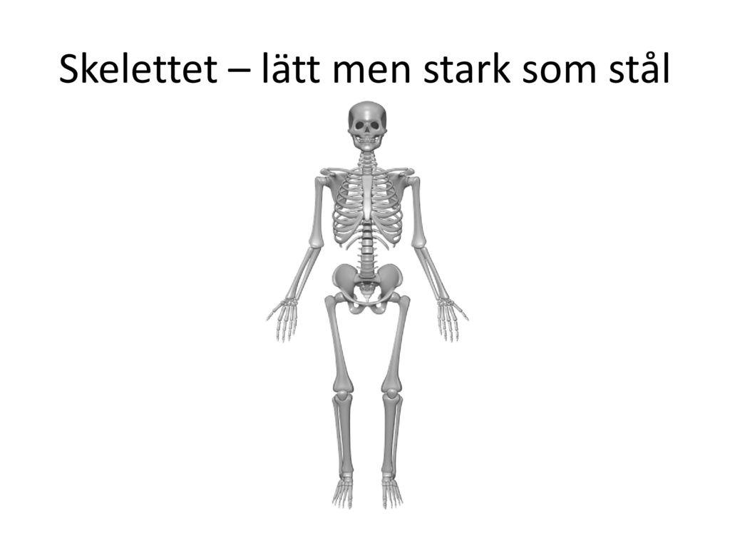 Skelettet – lätt men stark som stål