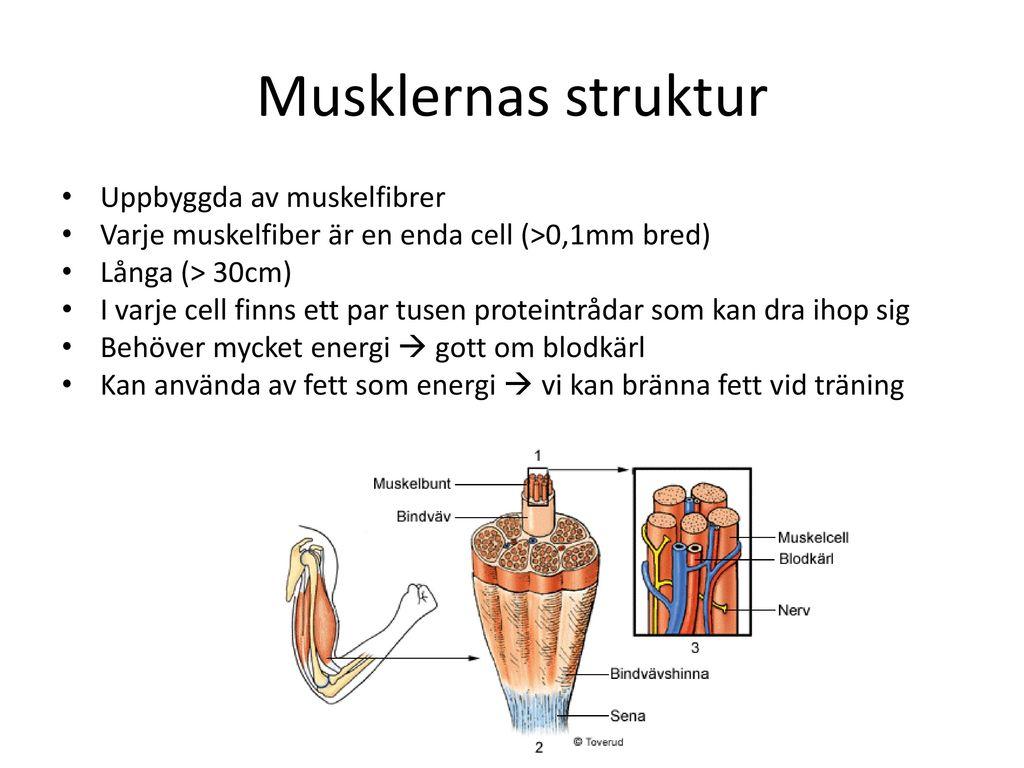 Musklernas struktur Uppbyggda av muskelfibrer
