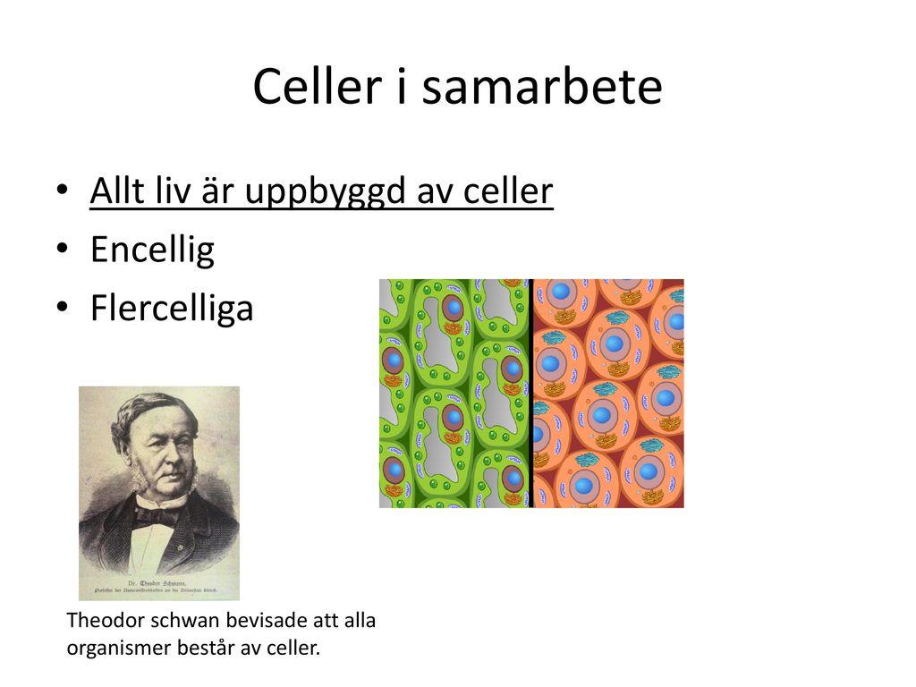 Celler i samarbete Allt liv är uppbyggd av celler Encellig Flercelliga