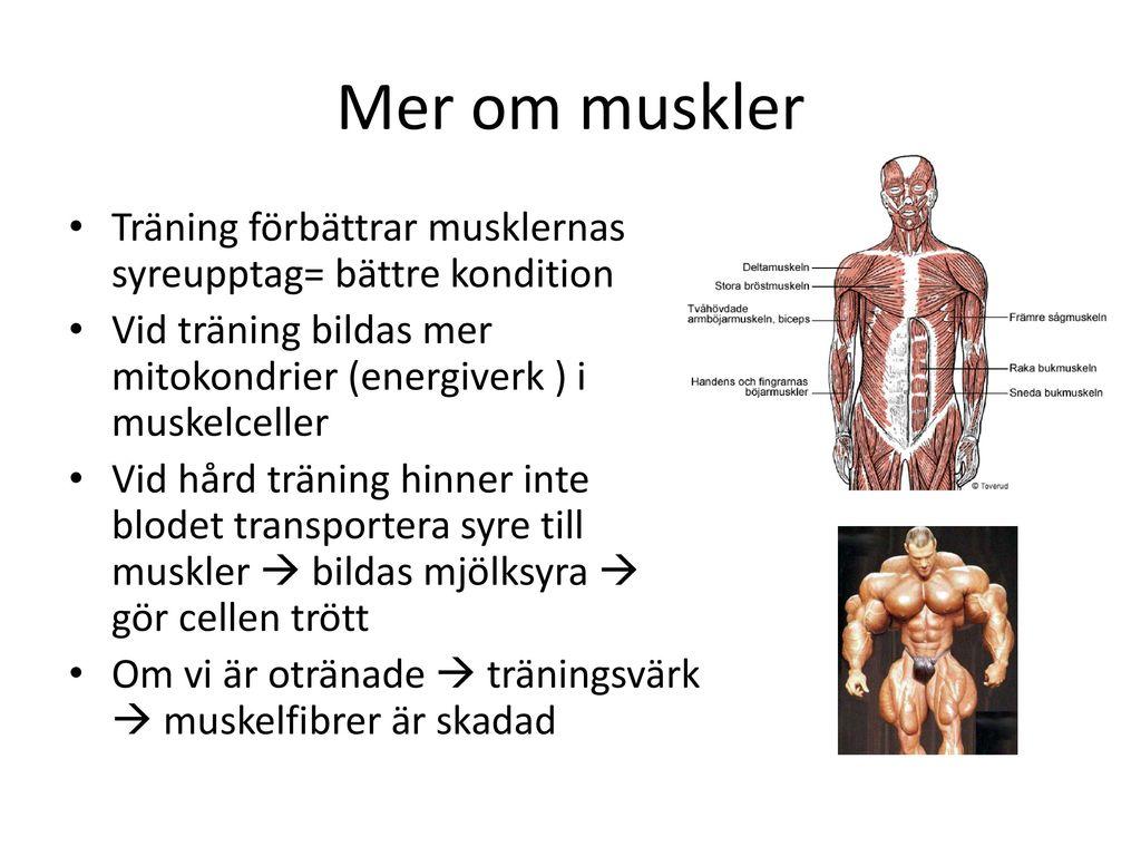 Mer om muskler Träning förbättrar musklernas syreupptag= bättre kondition. Vid träning bildas mer mitokondrier (energiverk ) i muskelceller.