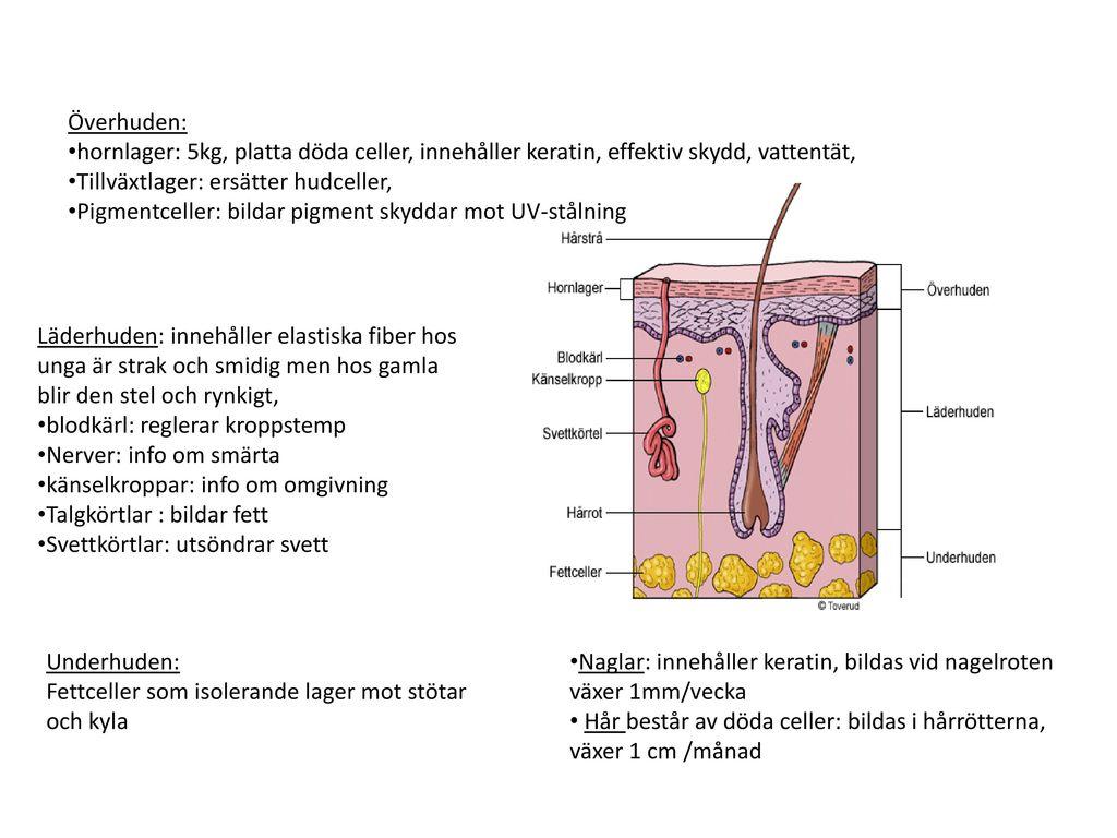 Överhuden: hornlager: 5kg, platta döda celler, innehåller keratin, effektiv skydd, vattentät, Tillväxtlager: ersätter hudceller,