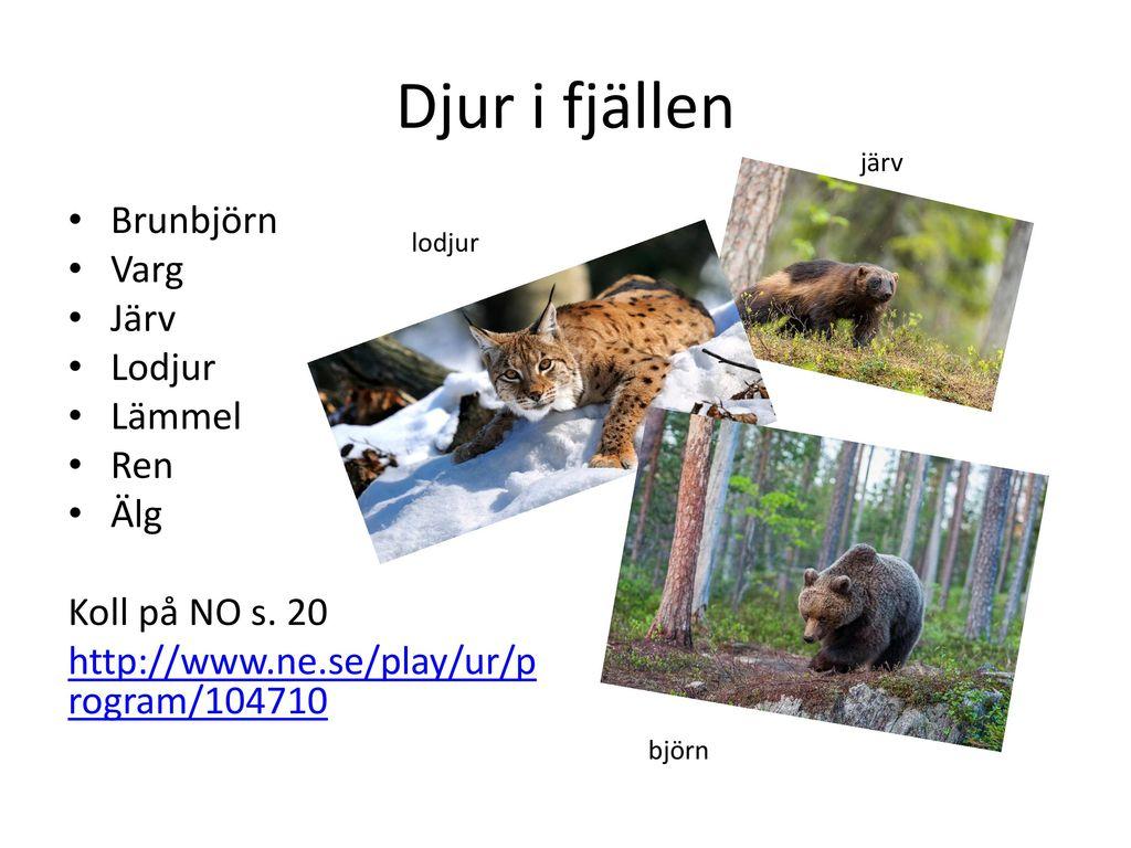 Djur i fjällen Brunbjörn Varg Järv Lodjur Lämmel Ren Älg