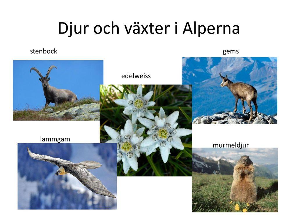 Djur och växter i Alperna