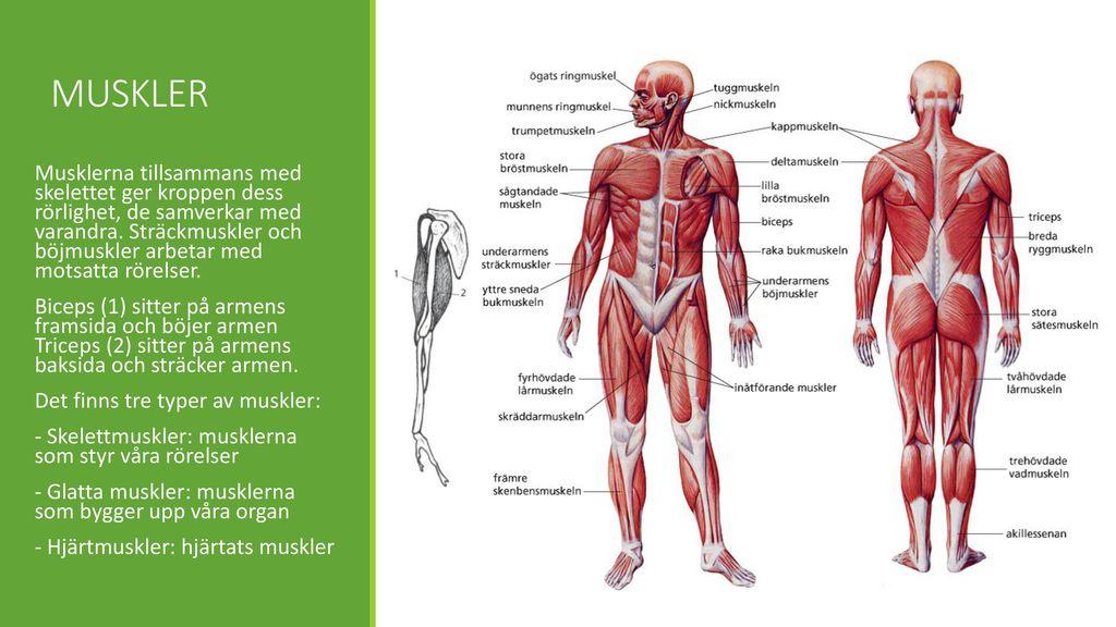 hur många muskler i kroppen