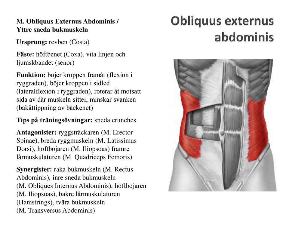 Ausgezeichnet Obliquus Externus Funktion Zeitgenössisch - Anatomie ...