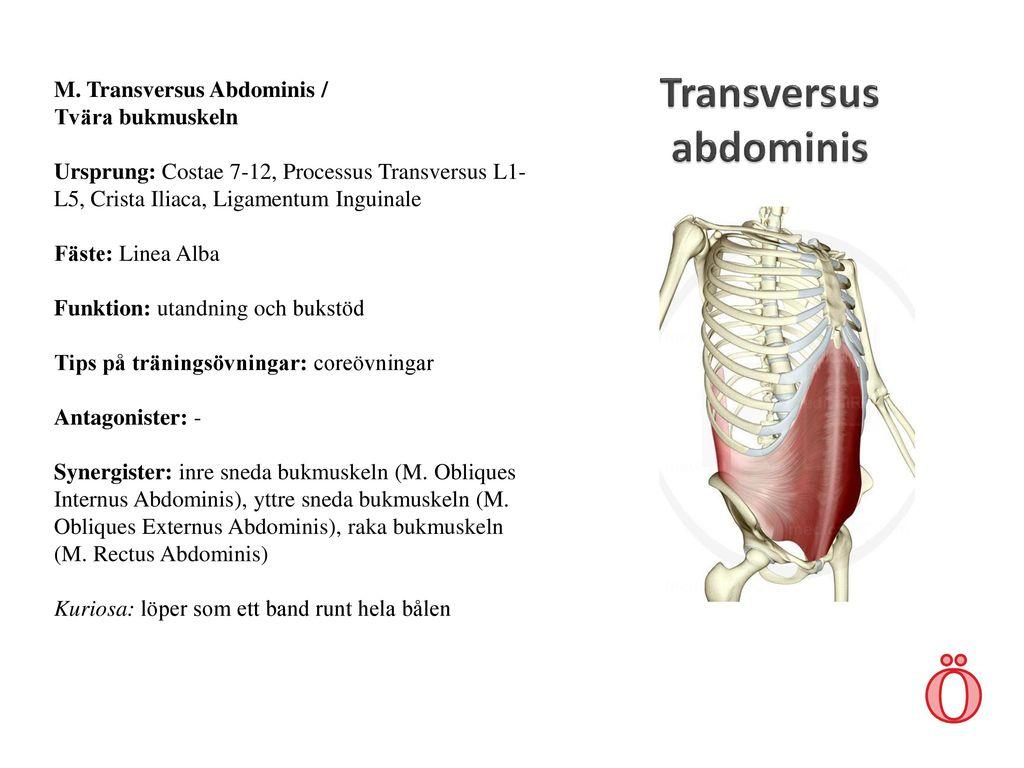 Ungewöhnlich Obliquus Externus Funktion Zeitgenössisch - Physiologie ...