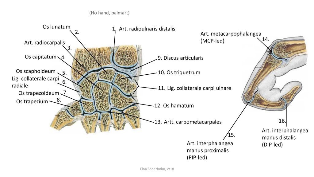 Art. radioulnaris distalis 2. Art. metacarpophalangea (MCP-led) 14.