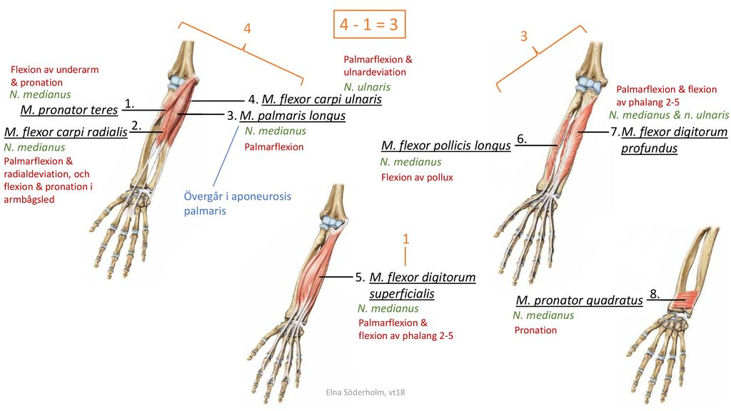 4 - 1 = M. flexor carpi ulnaris 1. M. pronator teres 3.