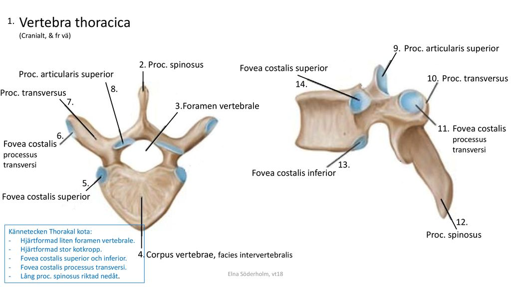 Vertebra thoracica Proc. articularis superior 2. Proc. spinosus