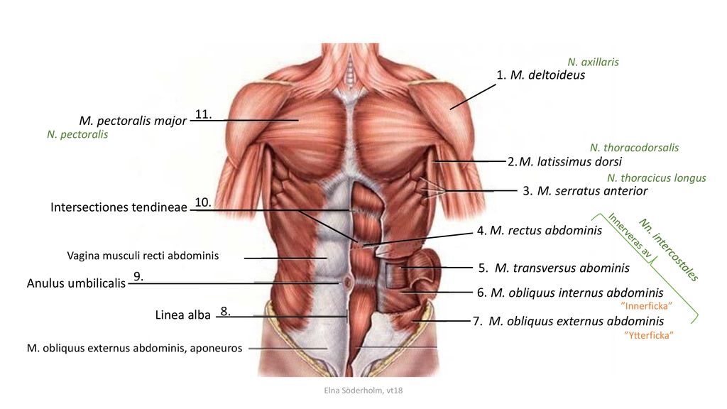 Intersectiones tendineae