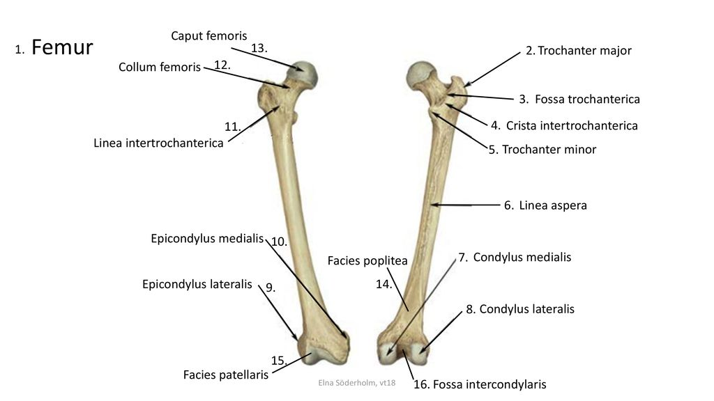 Femur Caput femoris Trochanter major Collum femoris