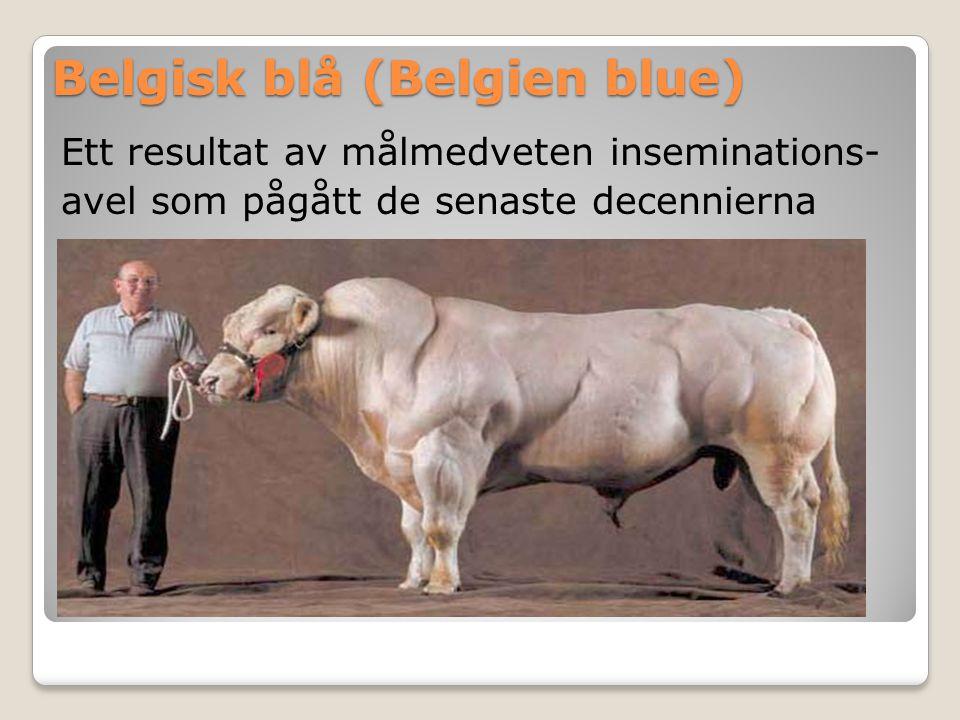 Belgisk blå (Belgien blue)