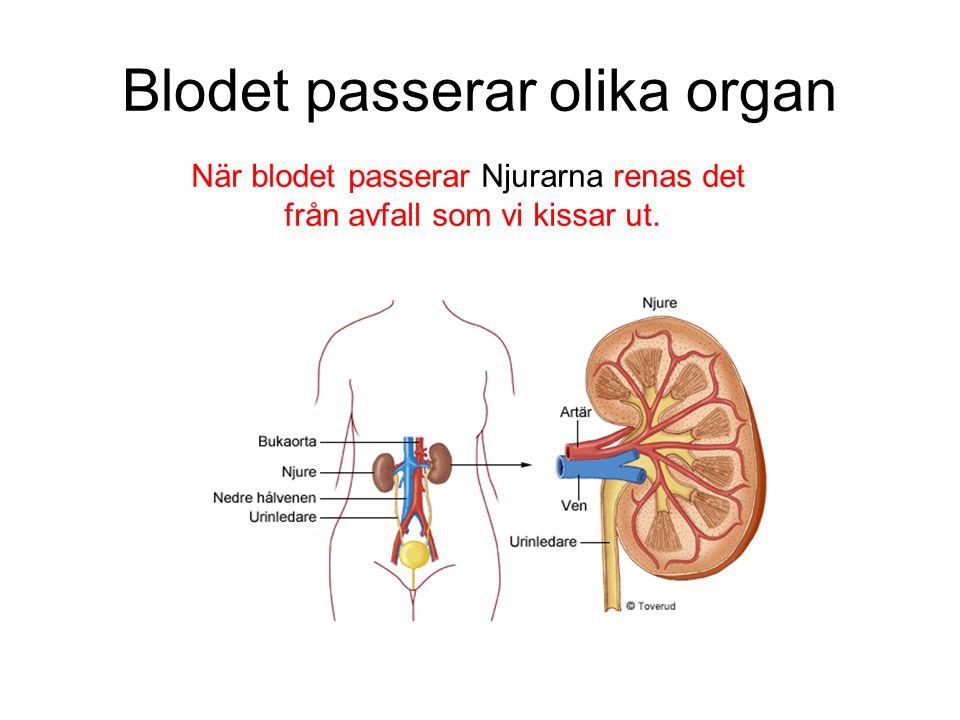Blodet passerar olika organ