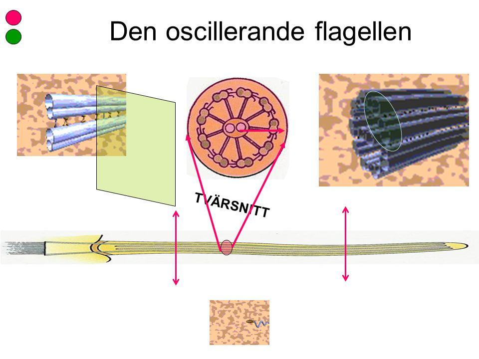 Den oscillerande flagellen