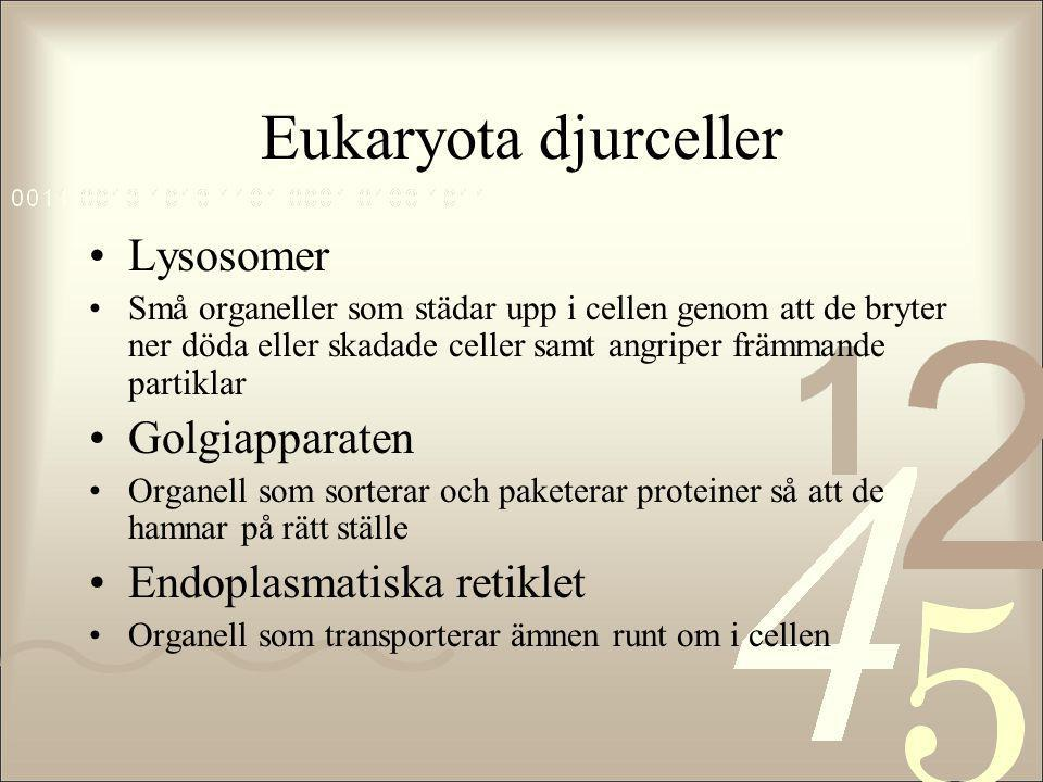 Eukaryota djurceller Lysosomer Golgiapparaten Endoplasmatiska retiklet